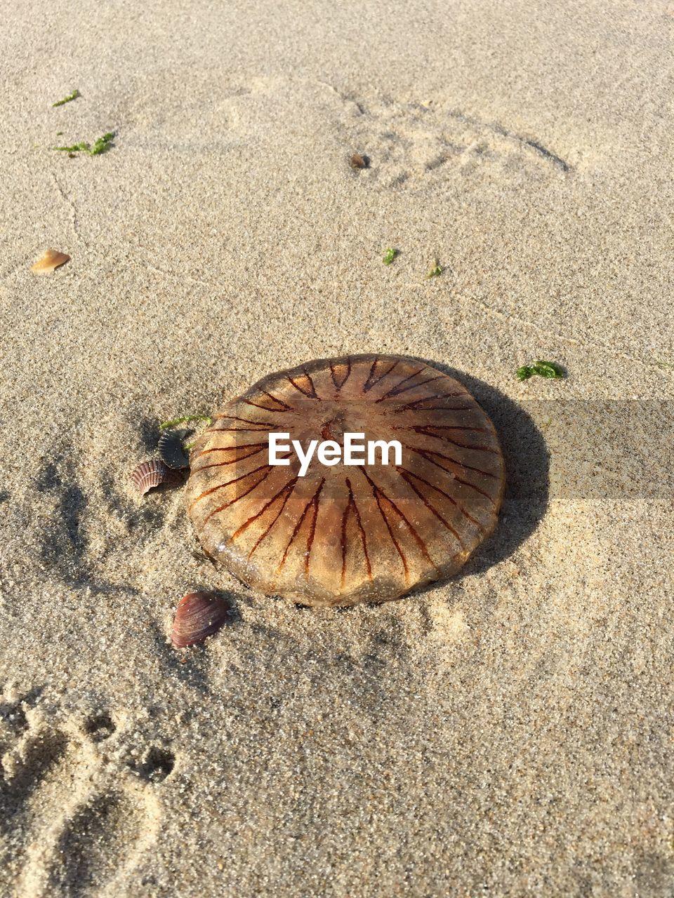 sand, beach, high angle view, one animal, day, nature, animal themes, seashell, no people, outdoors, sea life, close-up