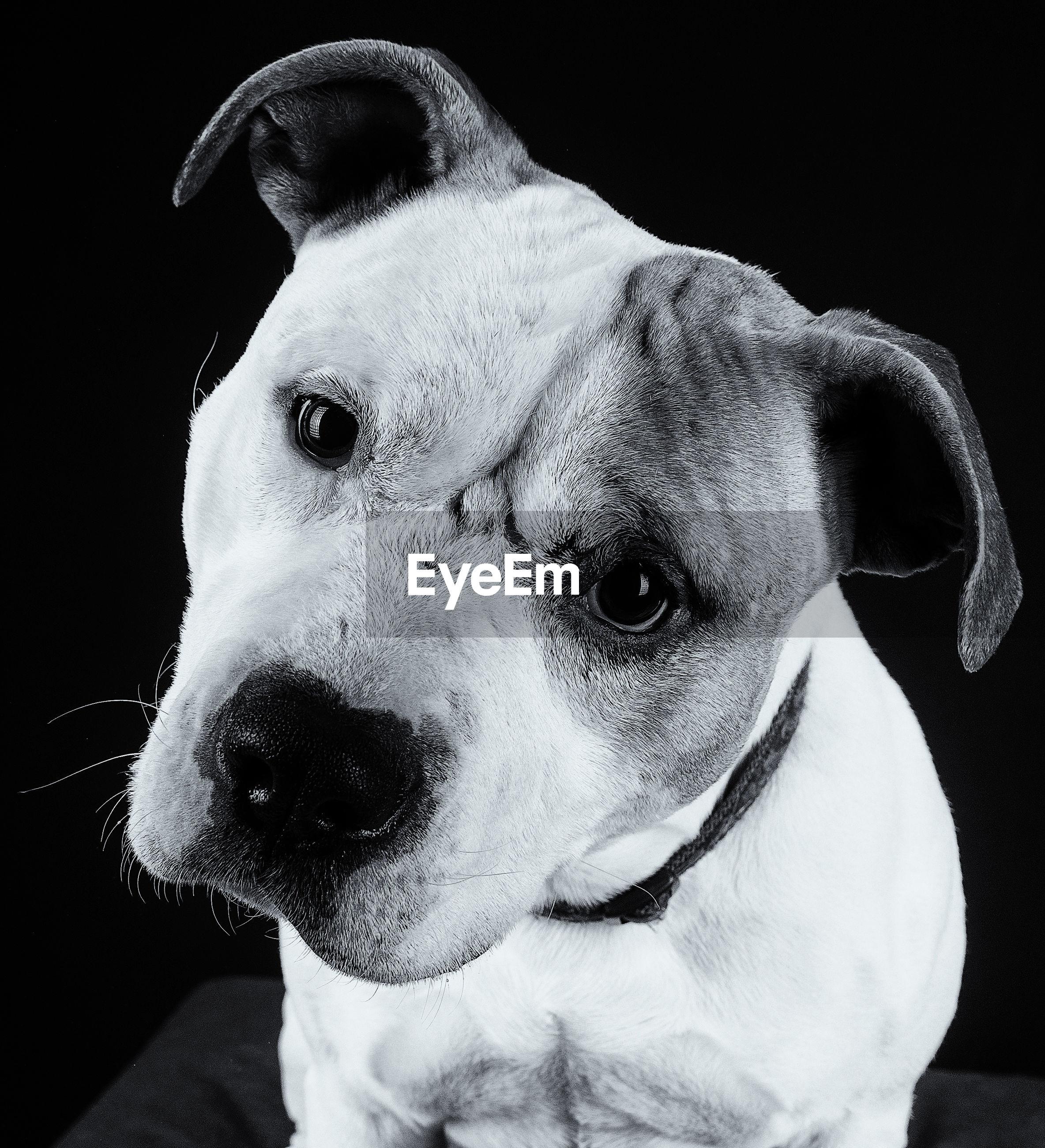 CLOSE-UP PORTRAIT OF DOG AGAINST BLACK