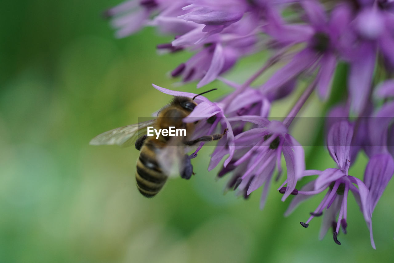 flower, animal, animal themes, flowering plant, animal wildlife, one animal, insect, animals in the wild, beauty in nature, fragility, invertebrate, petal, growth, vulnerability, close-up, plant, flower head, bee, freshness, purple, pollination, no people, outdoors
