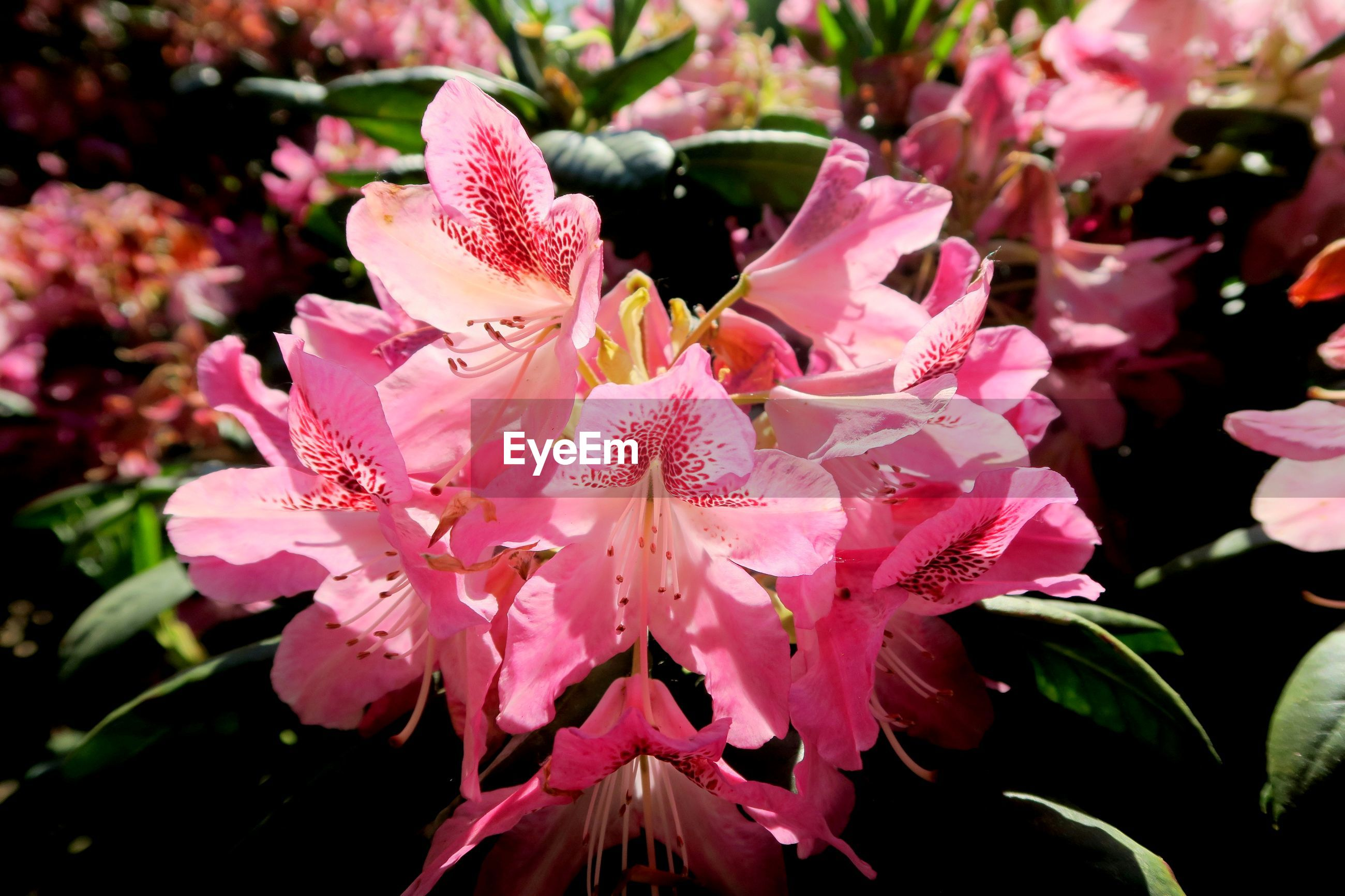 Close-up of pink flowering rhododendron
