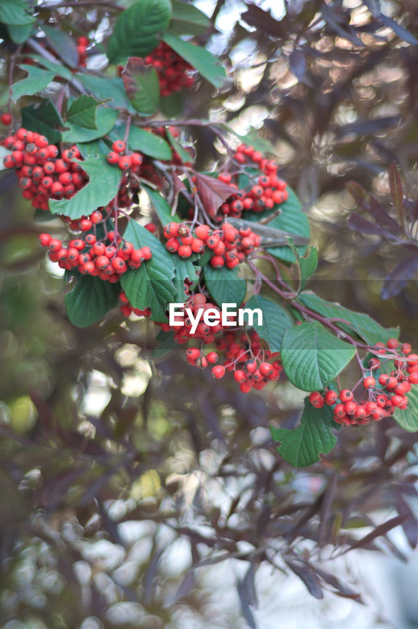 growth, fruit, tree, green color, growing, leaf, outdoors, beauty in nature, food and drink, red, day, no people, branch, freshness, nature, focus on foreground, plant, food, close-up