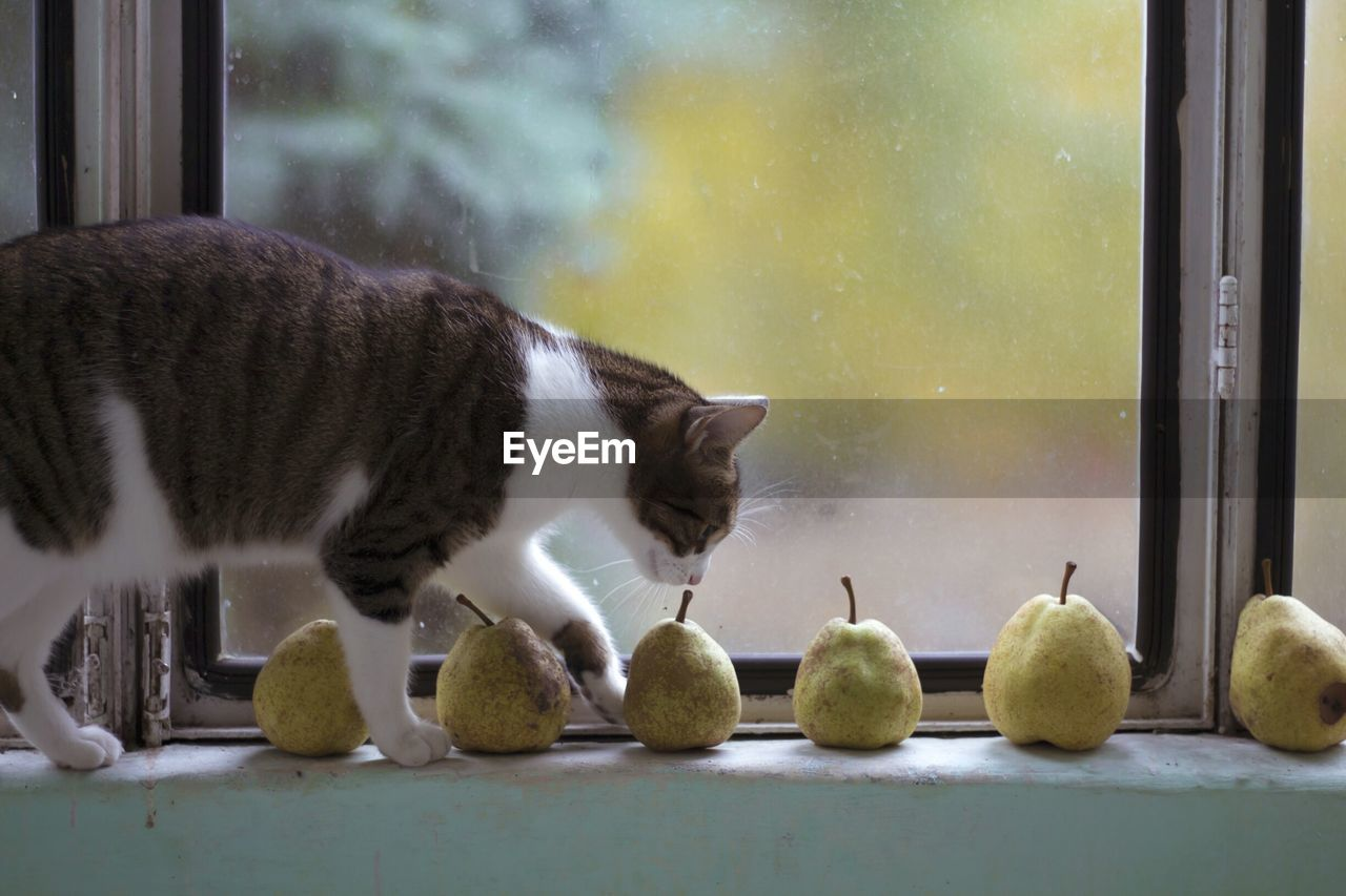Close-Up Of Cat Smelling Pears On Window Sill