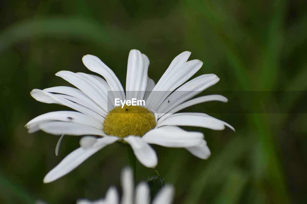 fragility, vulnerability, plant, flowering plant, flower, growth, beauty in nature, freshness, petal, flower head, close-up, inflorescence, pollen, white color, focus on foreground, daisy, day, no people, nature