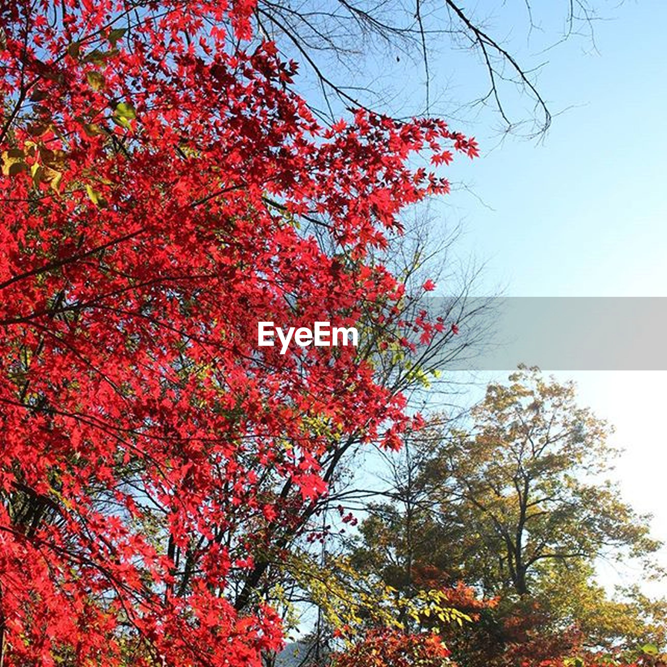 tree, branch, autumn, red, low angle view, change, growth, beauty in nature, season, nature, clear sky, tranquility, leaf, orange color, sky, day, scenics, no people, outdoors, tranquil scene