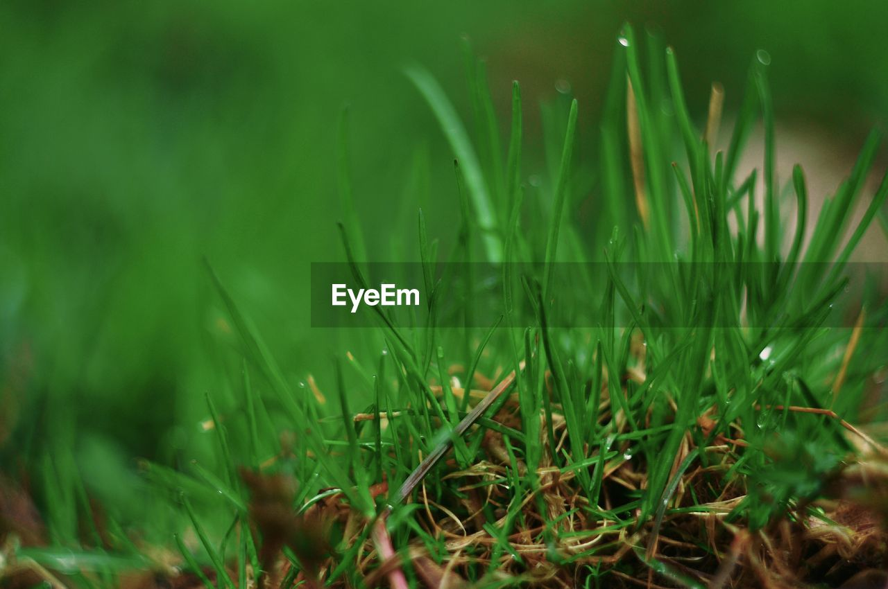 green color, plant, growth, grass, field, land, beauty in nature, selective focus, nature, close-up, day, no people, tranquility, freshness, blade of grass, outdoors, water, plain, grass area, wet
