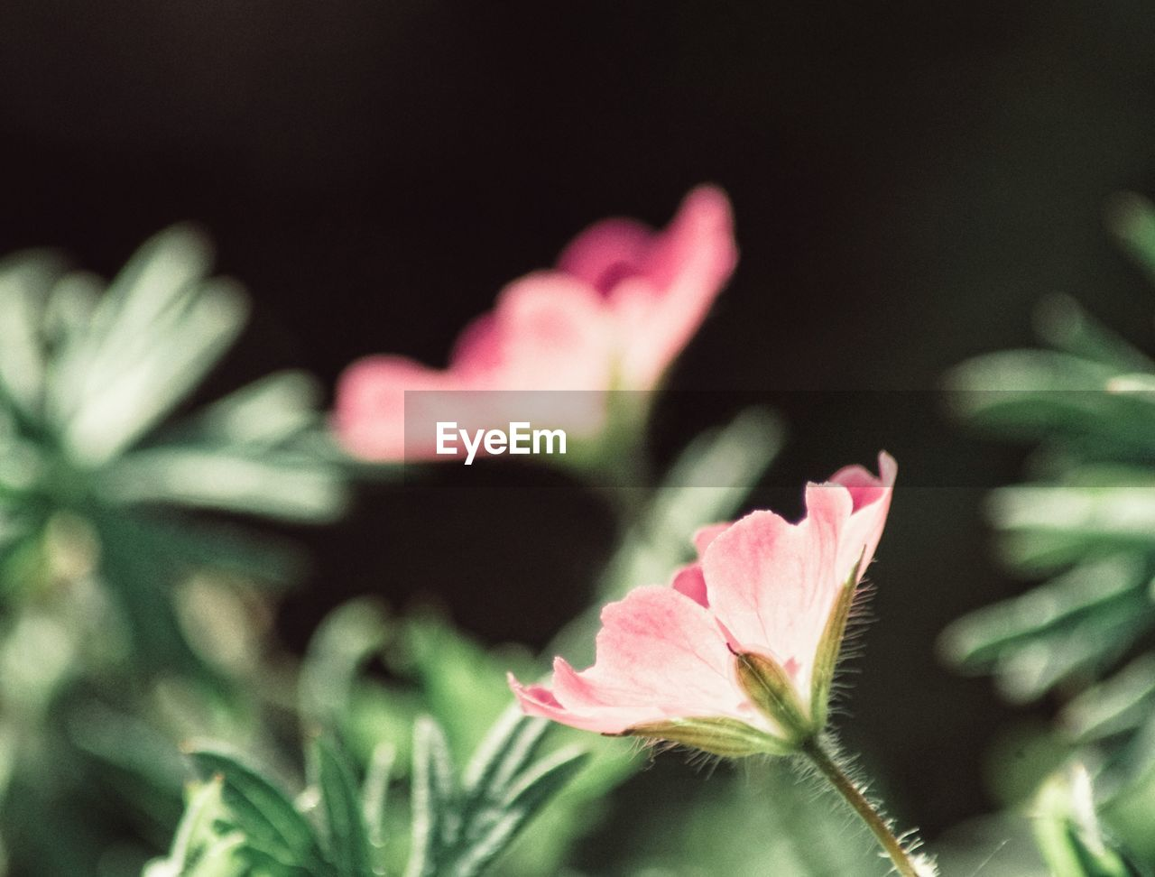 flower, plant, flowering plant, beauty in nature, freshness, fragility, vulnerability, close-up, growth, petal, pink color, selective focus, flower head, inflorescence, nature, no people, leaf, plant part, outdoors, day, sepal