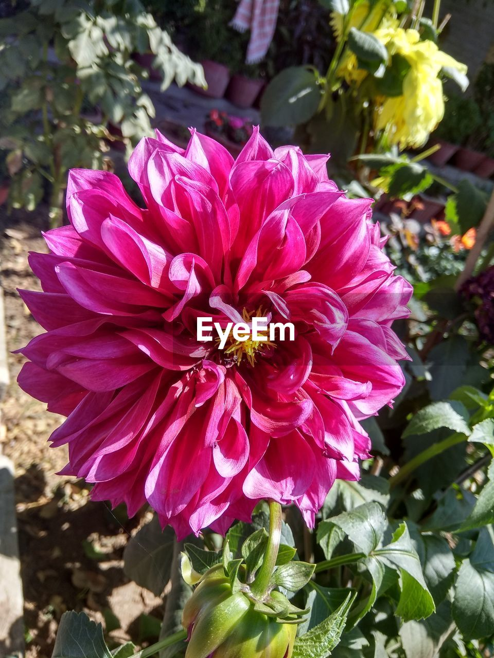 flower, petal, nature, growth, beauty in nature, plant, flower head, fragility, day, freshness, no people, outdoors, blooming, focus on foreground, close-up, dahlia, zinnia