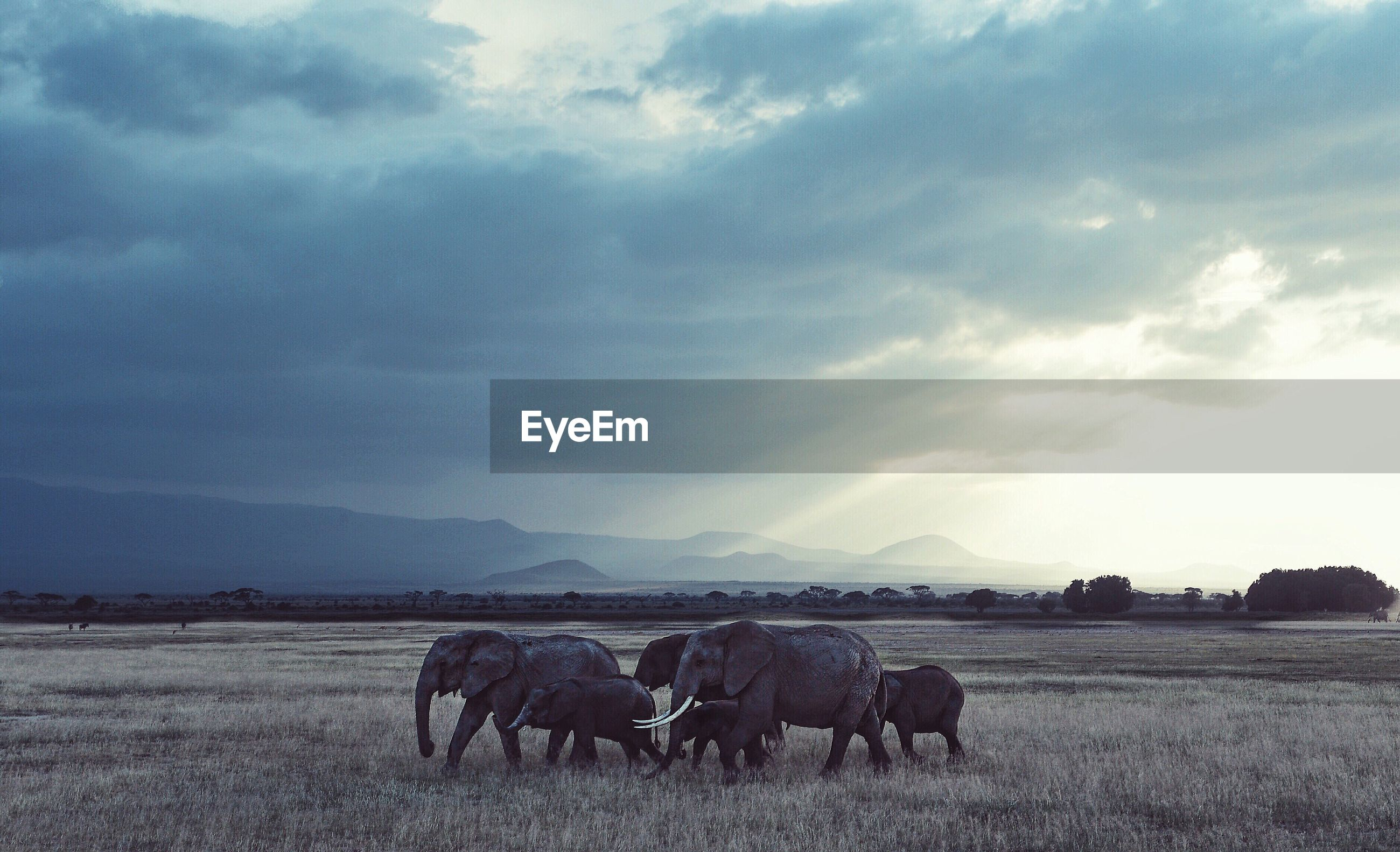 Elephants on field at amboseli national park against cloudy sky