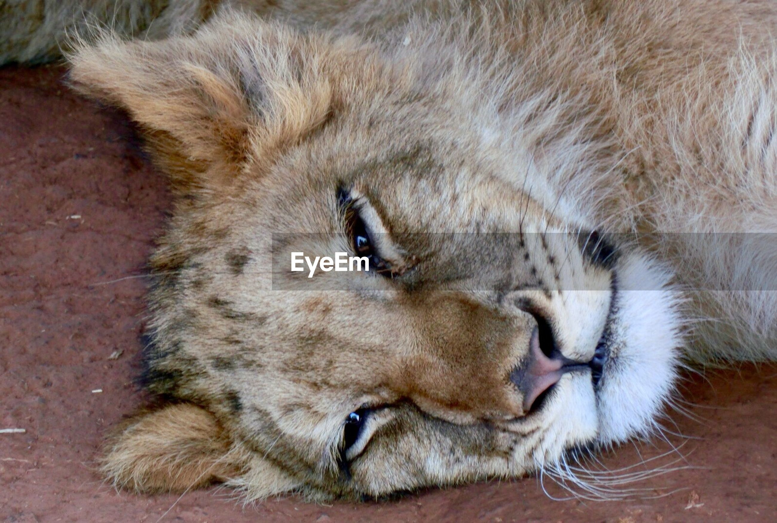 Portrait of lioness lying on field