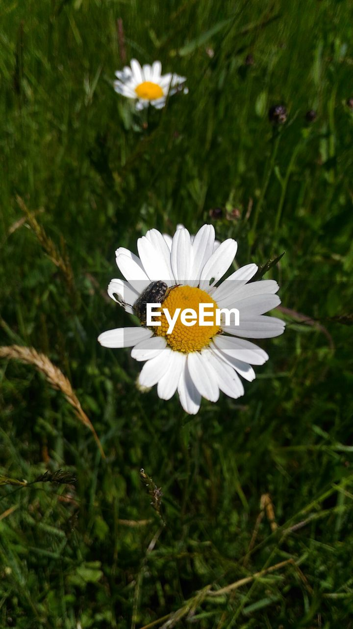 flower, flowering plant, plant, petal, fragility, beauty in nature, growth, vulnerability, white color, freshness, flower head, daisy, inflorescence, pollen, nature, close-up, day, field, focus on foreground, no people, outdoors, pollination