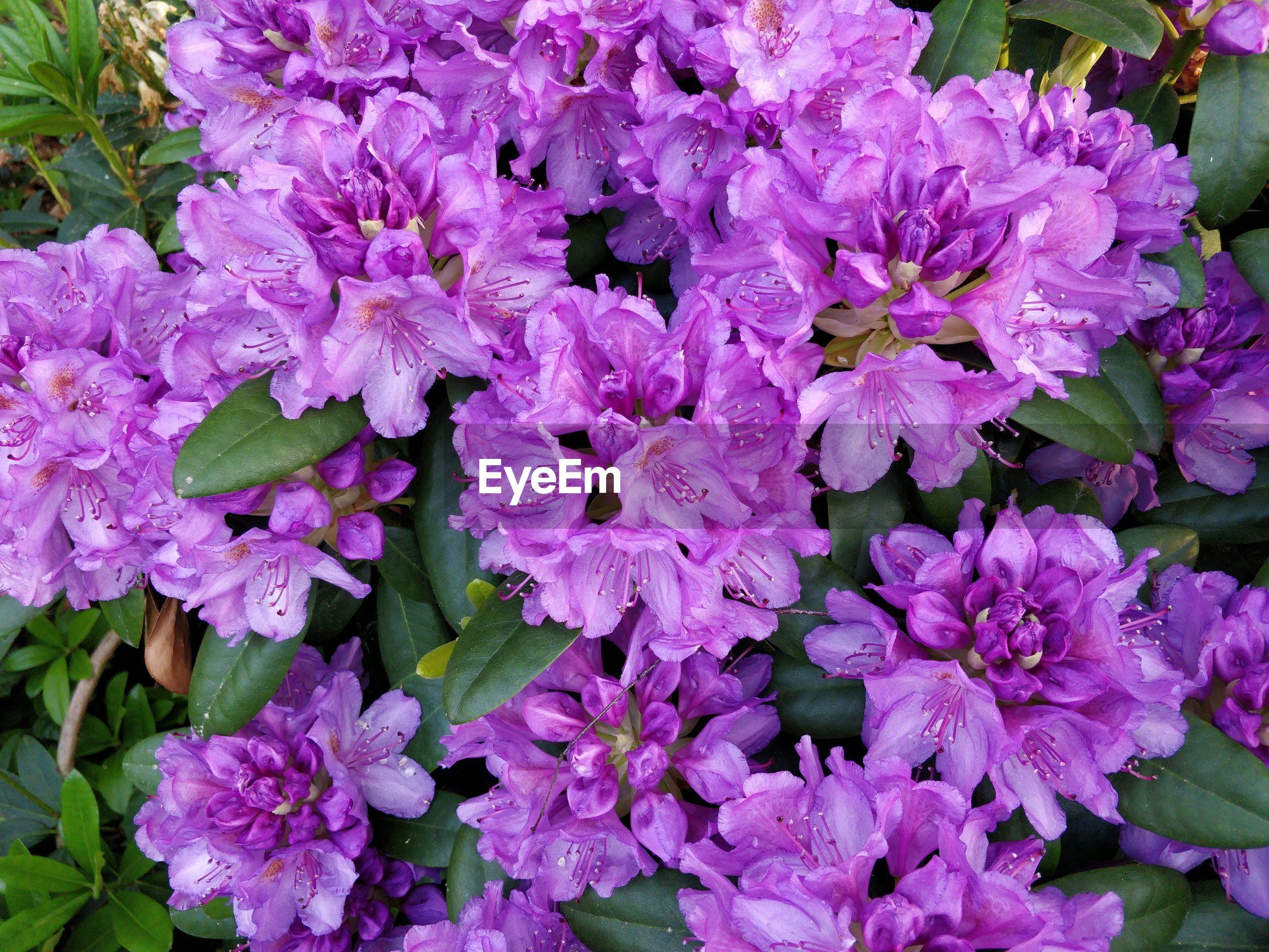 CLOSE-UP OF PINK FLOWERING PURPLE FLOWERS