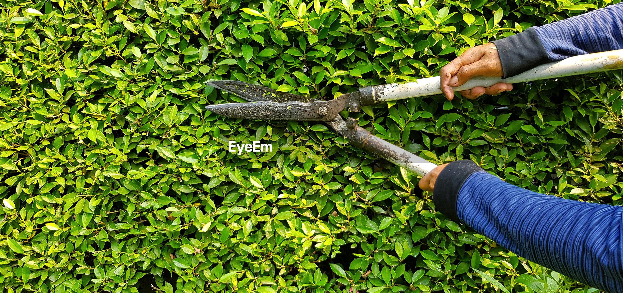 Cutting green leaves