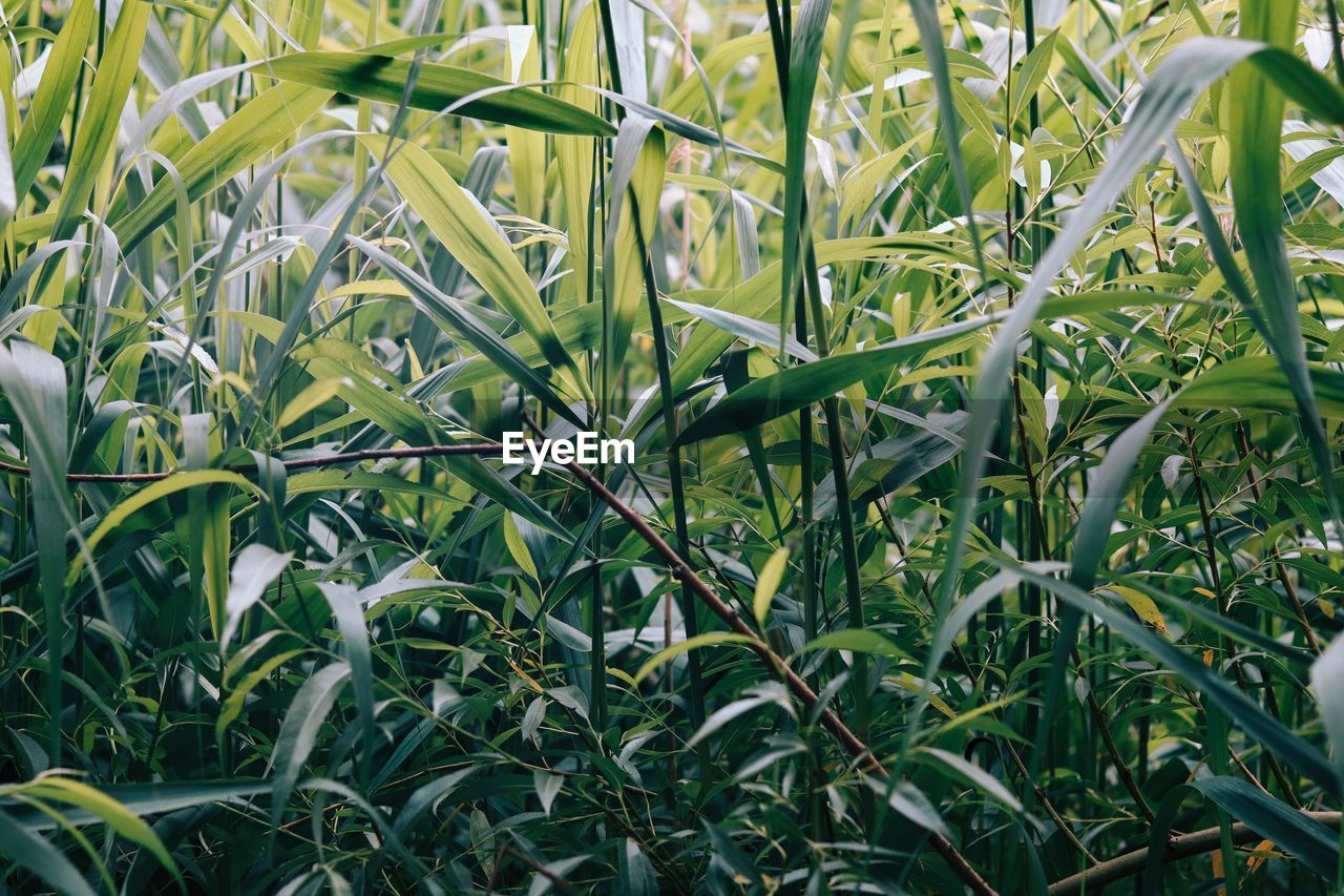 growth, plant, green color, beauty in nature, plant part, leaf, nature, field, no people, land, full frame, close-up, day, backgrounds, outdoors, tranquility, freshness, agriculture, grass, crop, blade of grass, plantation