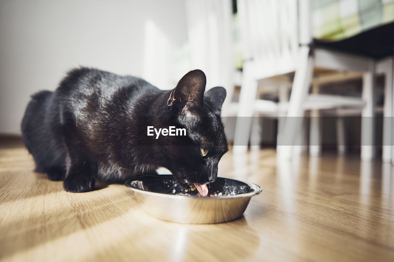 Close-up of black cat eating food on hardwood floor at home
