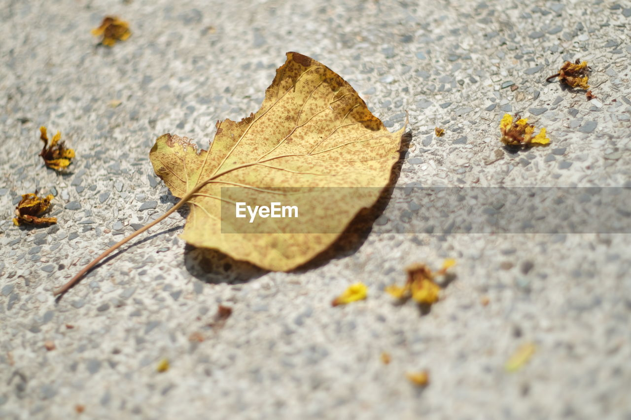 leaf, autumn, change, dry, selective focus, fallen, close-up, day, nature, outdoors, maple leaf, no people, maple, fragility