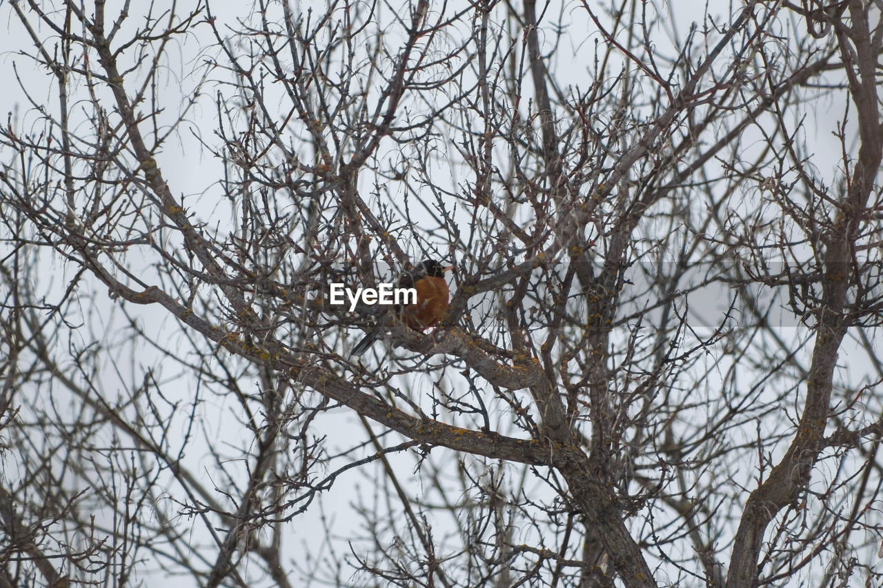 animals in the wild, animal wildlife, bird, tree, animal themes, animal, vertebrate, one animal, branch, perching, bare tree, plant, low angle view, robin, cold temperature, winter, nature, no people, snow, day, outdoors