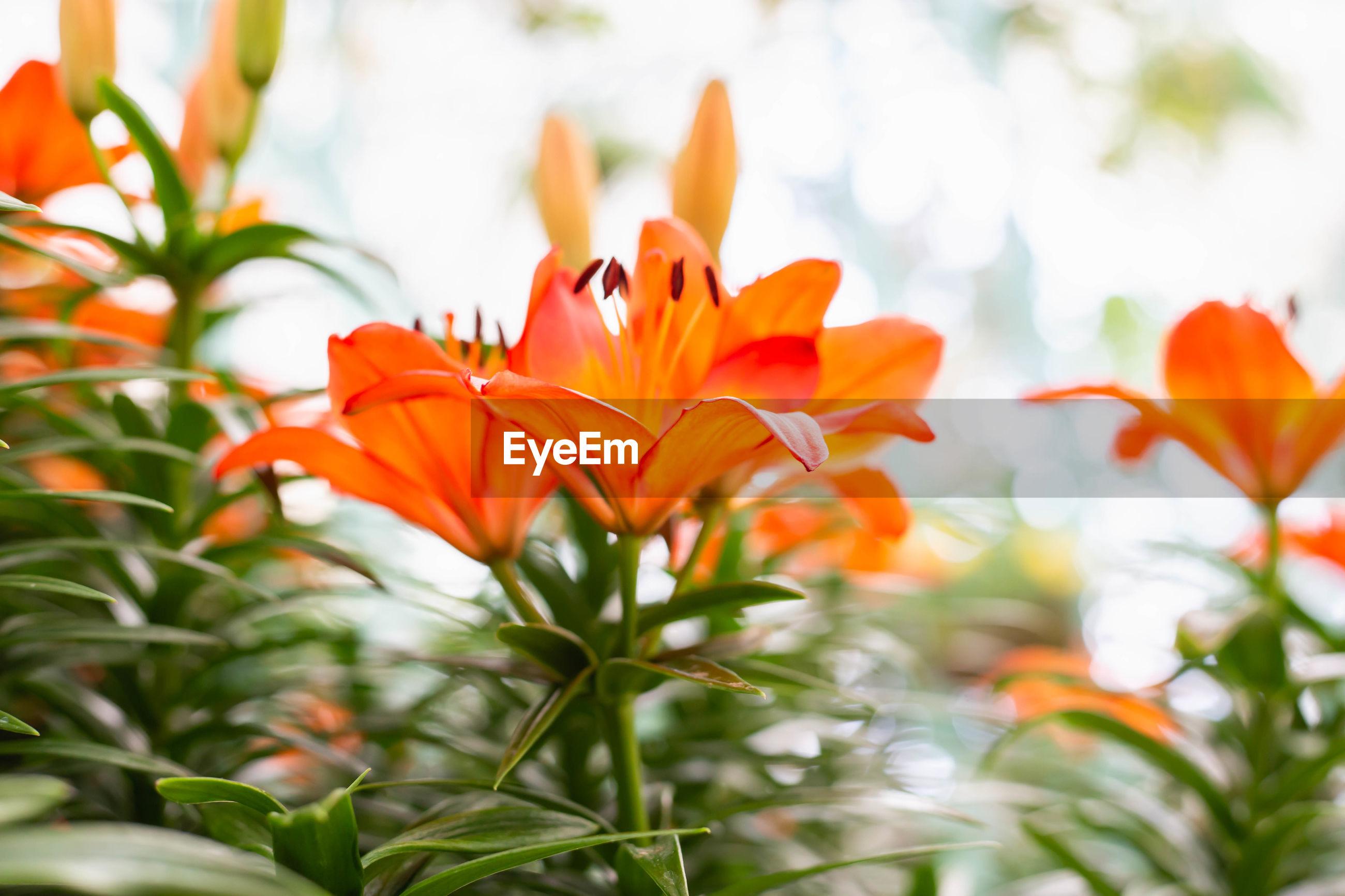 CLOSE-UP OF ORANGE FLOWER PLANT