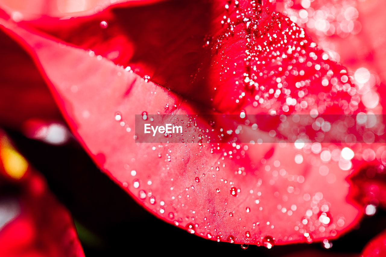 drop, water, red, nature, petal, close-up, wet, beauty in nature, flower, pink color, freshness, growth, no people, flower head, fragility, day, outdoors