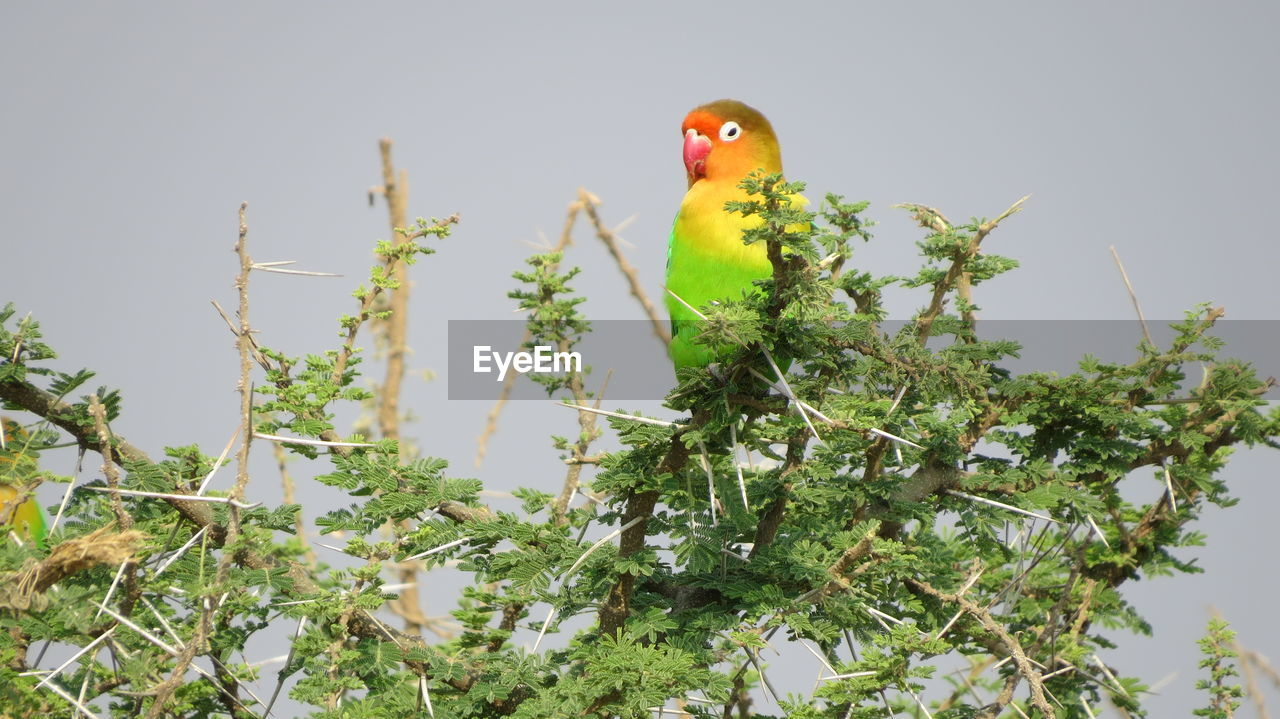 one animal, animal themes, animals in the wild, bird, green color, animal wildlife, parrot, perching, no people, nature, day, outdoors, beauty in nature, tree, close-up, mammal