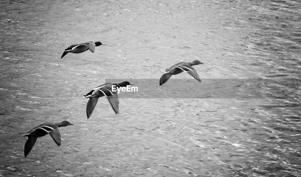 animal themes, animals in the wild, nature, animal wildlife, bird, water, flying, day, outdoors, no people, spread wings, swimming, beauty in nature