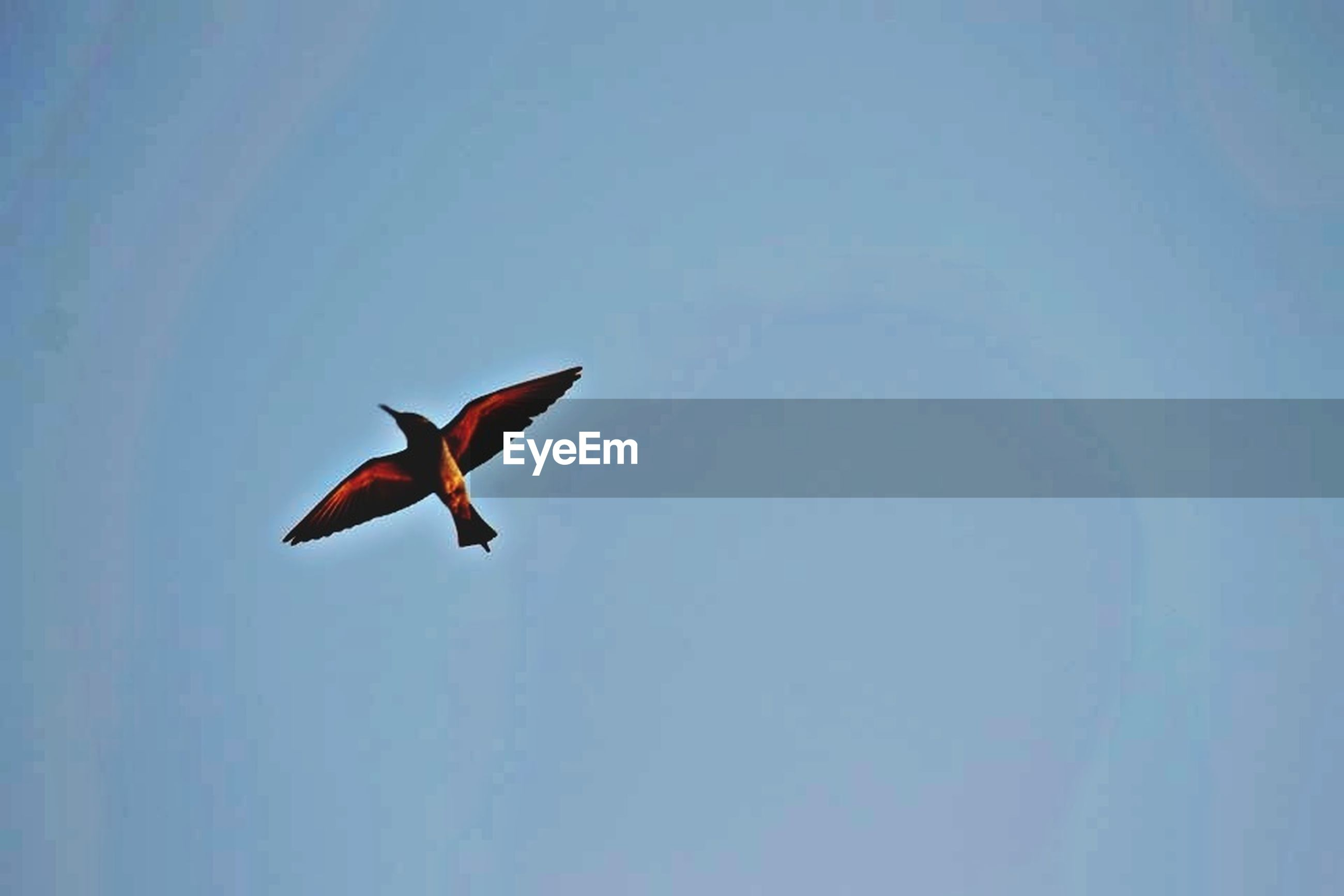 flying, mid-air, low angle view, spread wings, clear sky, copy space, bird, freedom, blue, motion, sky, animal themes, on the move, nature, wildlife, animals in the wild, outdoors, day, one animal, no people