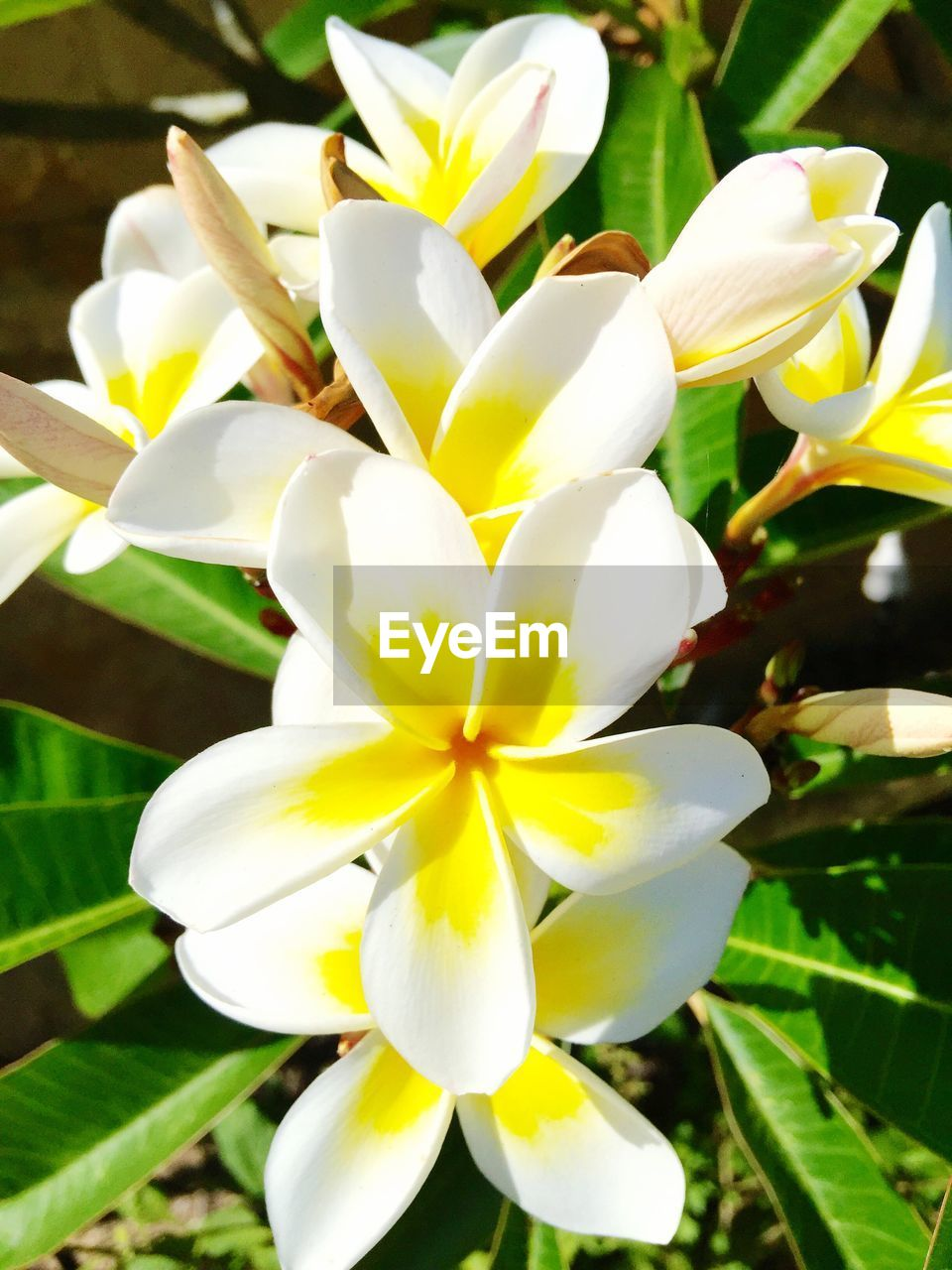 flower, petal, beauty in nature, fragility, nature, flower head, freshness, growth, white color, day, close-up, blooming, plant, outdoors, no people, frangipani, yellow