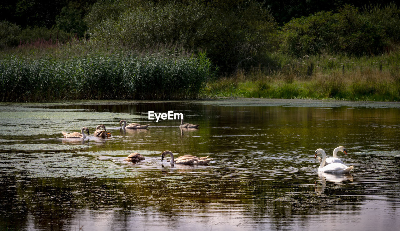 group of animals, animal themes, animal, water, lake, animals in the wild, animal wildlife, vertebrate, young animal, plant, bird, medium group of animals, no people, animal family, day, reflection, nature, young bird, swimming, duck, outdoors, cygnet, gosling, flock of birds