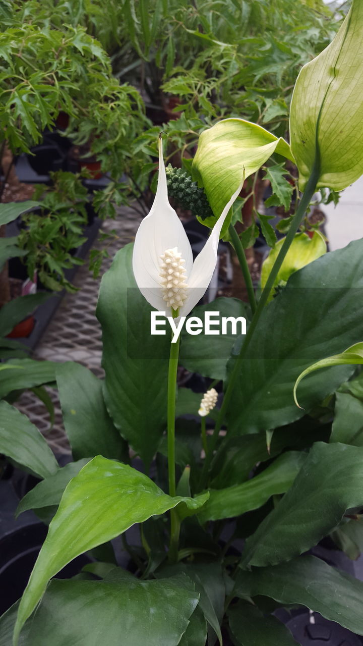 leaf, growth, flower, petal, nature, plant, green color, beauty in nature, fragility, freshness, no people, flower head, day, outdoors, close-up, blooming