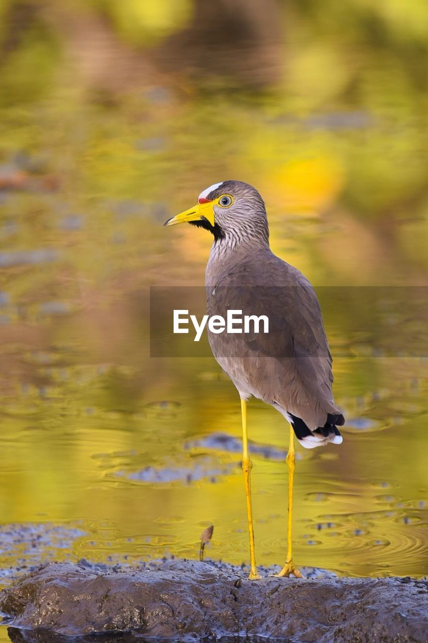 bird, animal themes, animal, animals in the wild, animal wildlife, vertebrate, one animal, water, day, perching, no people, focus on foreground, nature, yellow, outdoors, close-up, beauty in nature, lake, looking away