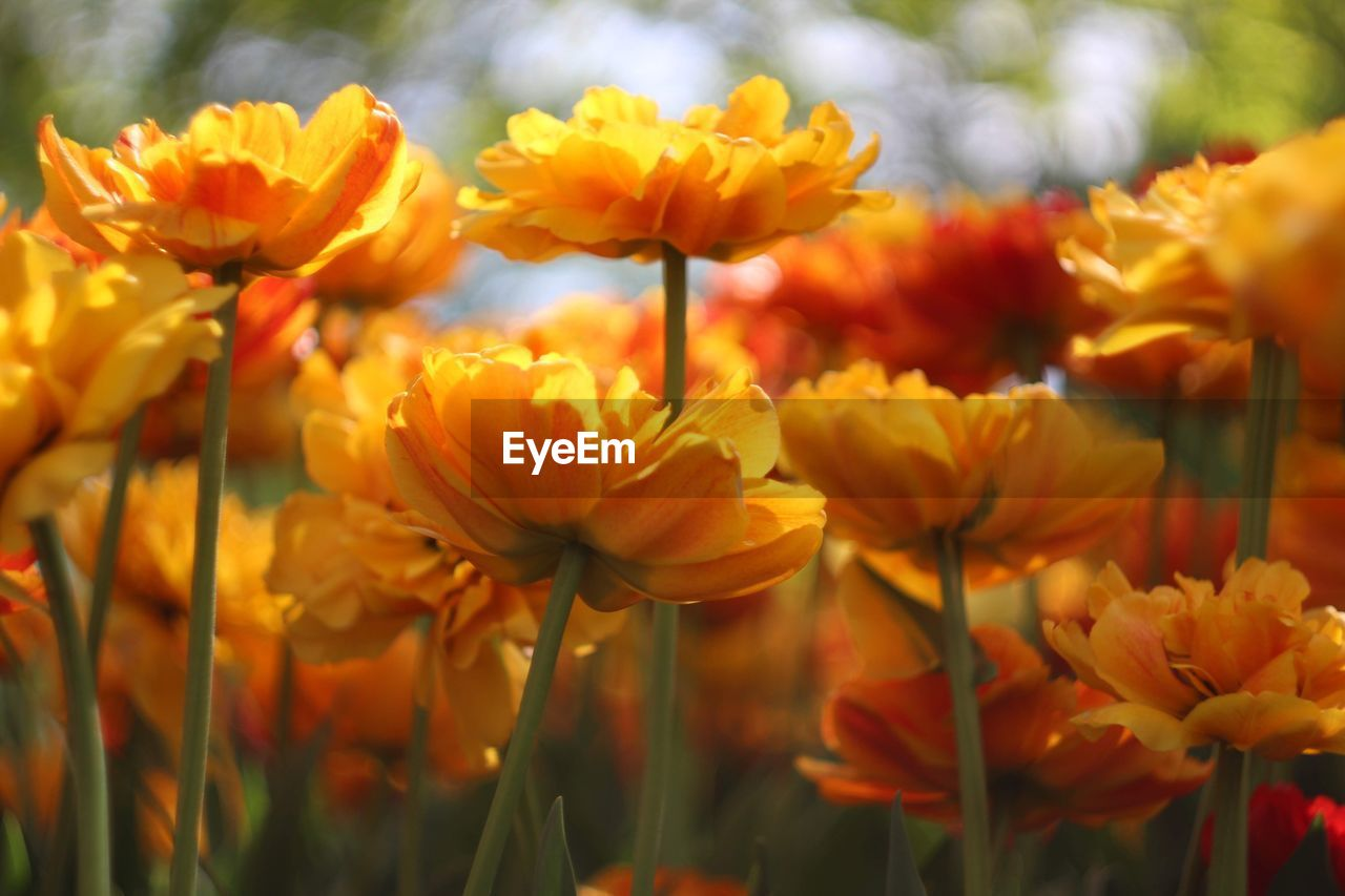 flowering plant, flower, beauty in nature, fragility, vulnerability, plant, freshness, growth, petal, close-up, yellow, flower head, inflorescence, nature, field, plant stem, no people, focus on foreground, land, day, outdoors