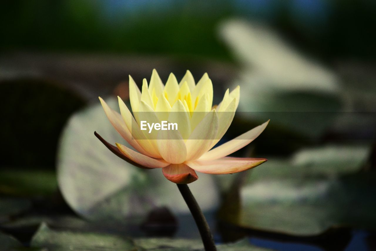 flower, petal, beauty in nature, flower head, growth, nature, fragility, freshness, plant, blooming, leaf, lake, outdoors, day, water lily, close-up, lotus water lily, no people, water, crocus