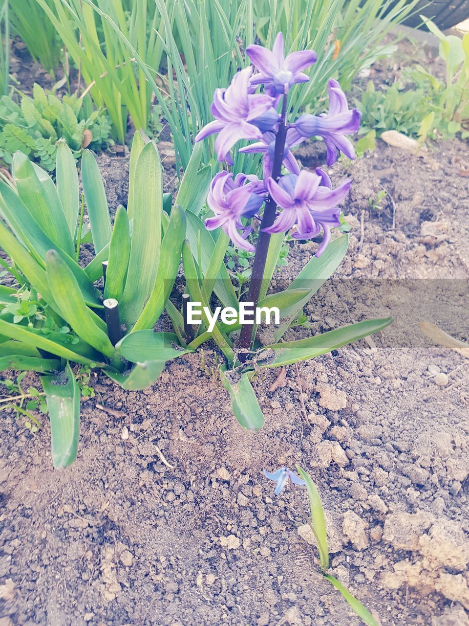 growth, nature, plant, flower, no people, field, beauty in nature, outdoors, day, fragility, freshness, close-up, crocus
