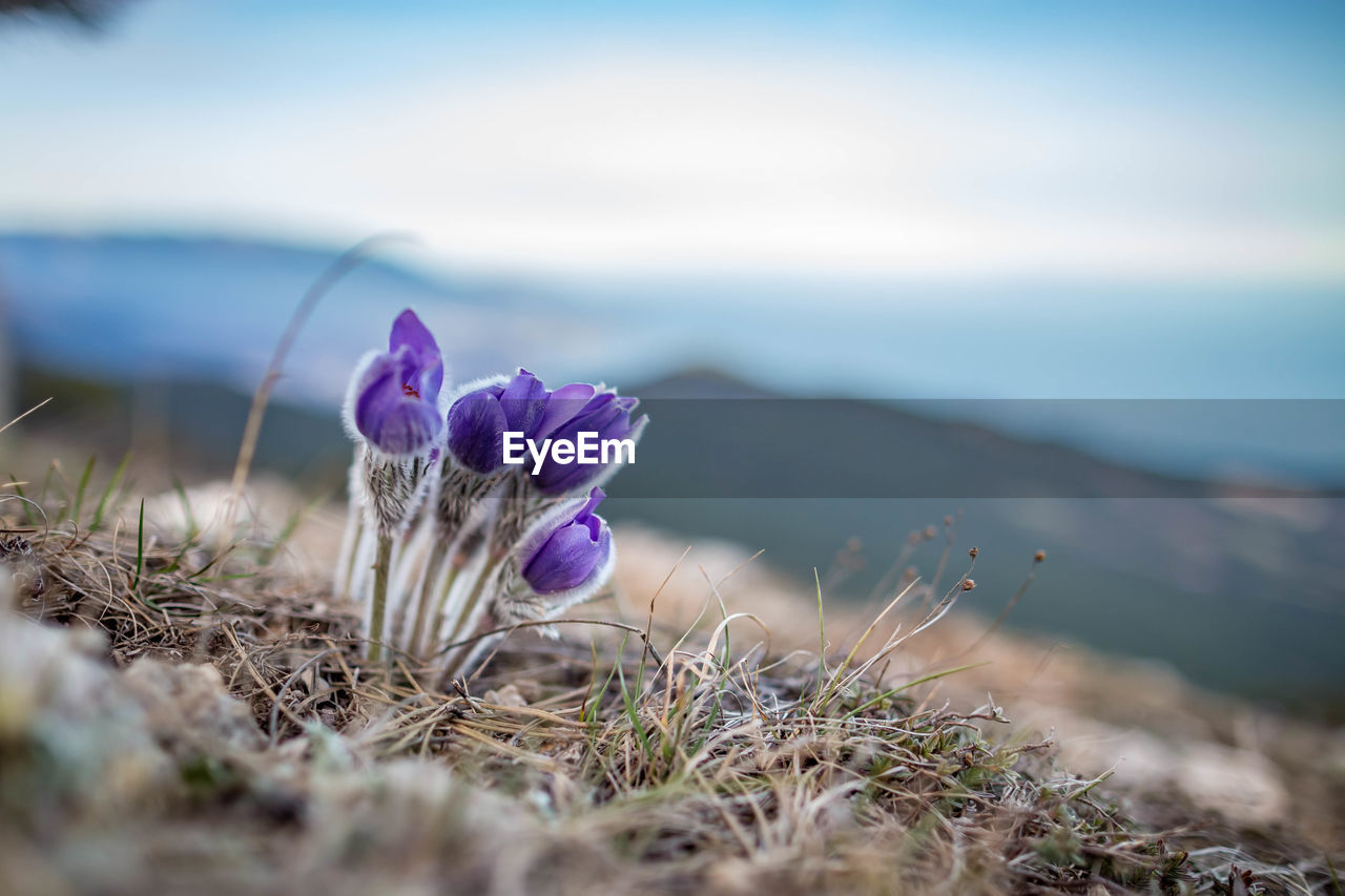 beauty in nature, flower, flowering plant, plant, selective focus, nature, growth, freshness, day, close-up, vulnerability, land, no people, fragility, tranquility, purple, sky, field, outdoors, tranquil scene, flower head, iris, crocus