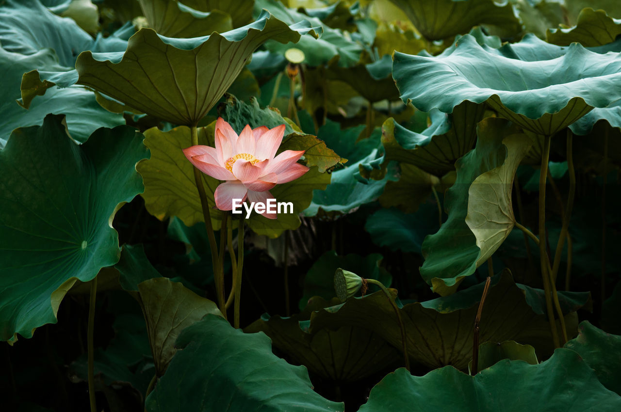 Close-up of pink lotus water lily. full bloom royal lotus flowers green leaves in  lotus pond. china