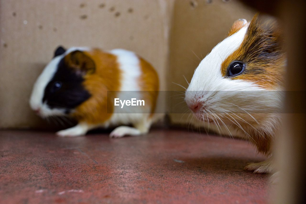 Close-up of hamsters at home