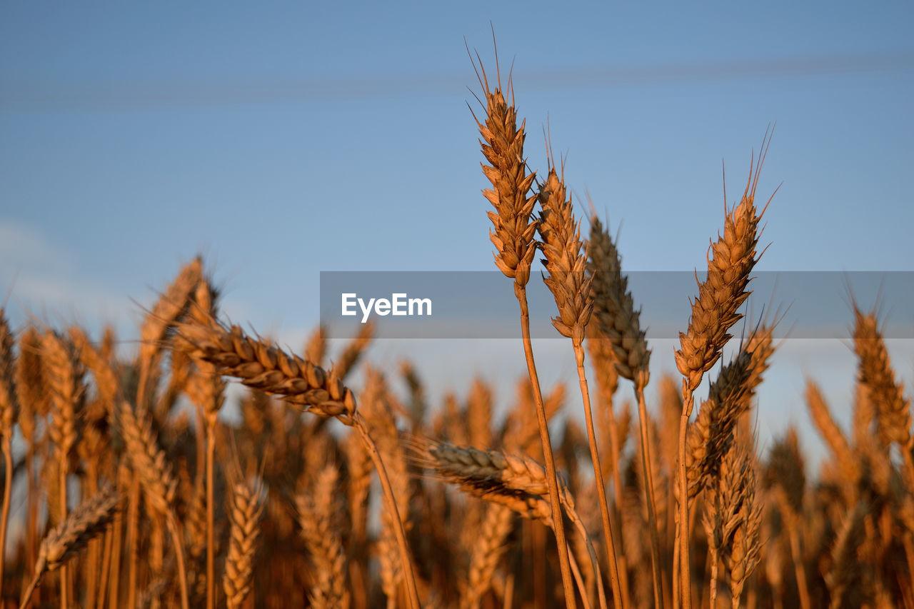 Wheat Crops In Field Against Sky
