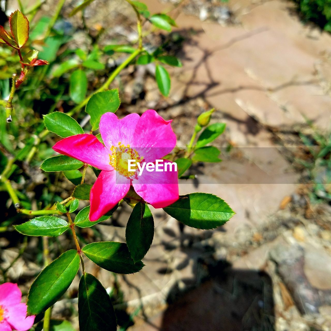 flower, pink color, petal, fragility, beauty in nature, nature, flower head, growth, leaf, freshness, plant, day, blooming, outdoors, close-up, no people, periwinkle