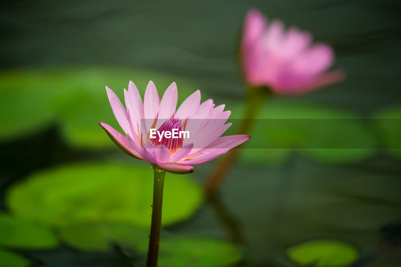 High Angle View Of Lotus Flowers Blooming On Pond
