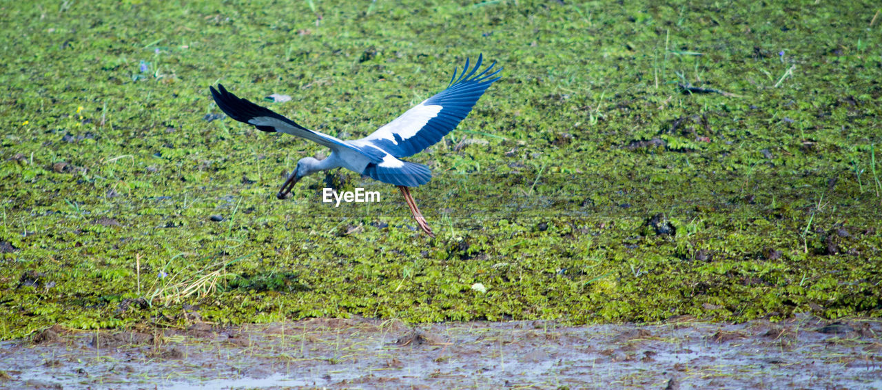 bird, spread wings, animals in the wild, flying, animal wildlife, nature, animal themes, green color, grass, no people, outdoors, beauty in nature, day, water