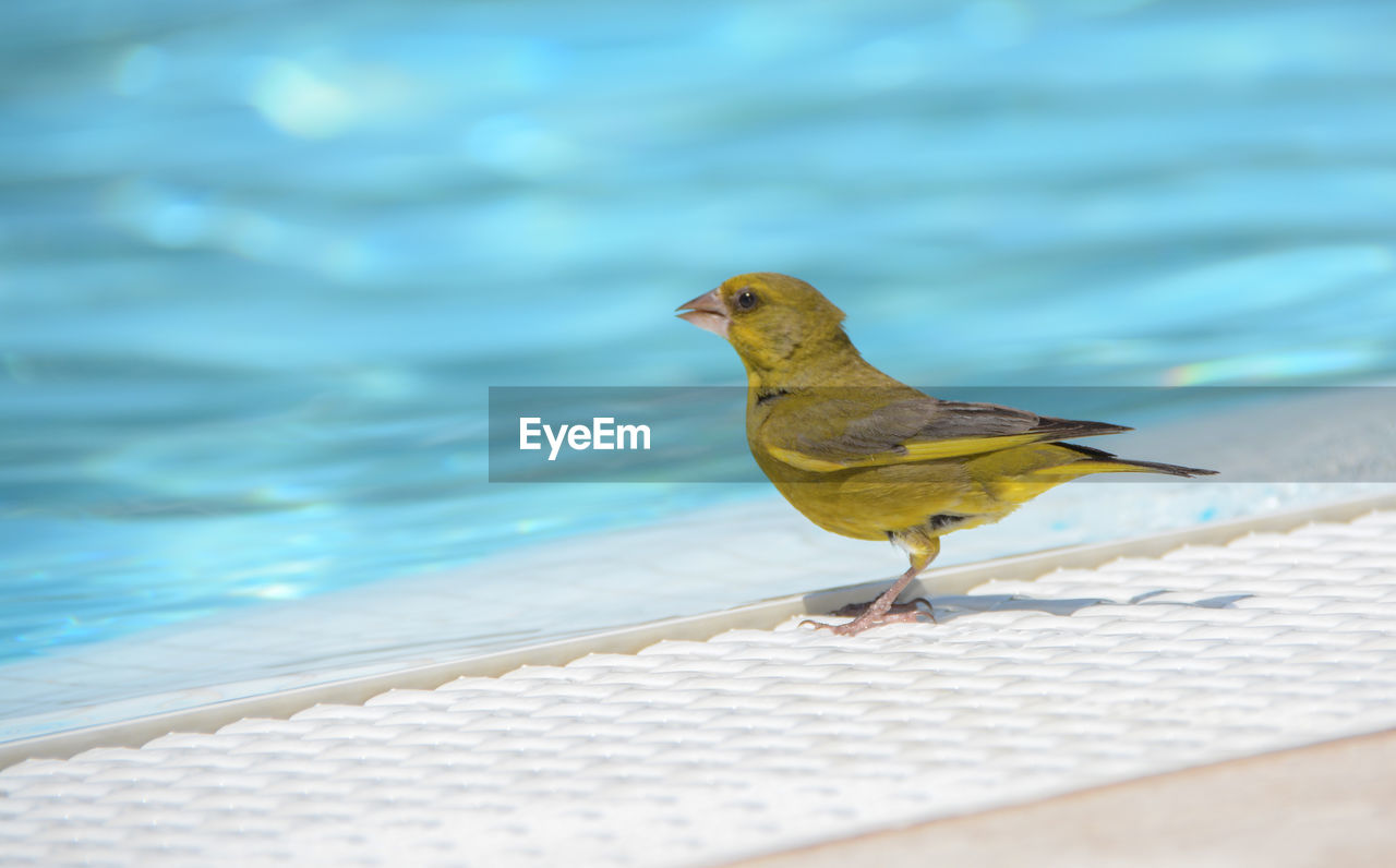 animal themes, bird, animal, animal wildlife, vertebrate, one animal, animals in the wild, perching, day, water, focus on foreground, no people, nature, yellow, outdoors, close-up, sunlight, swimming pool, retaining wall, at the edge of