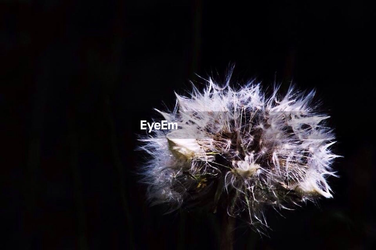 flower, dandelion, fragility, flower head, no people, freshness, close-up, growth, nature, black background, night, beauty in nature, outdoors