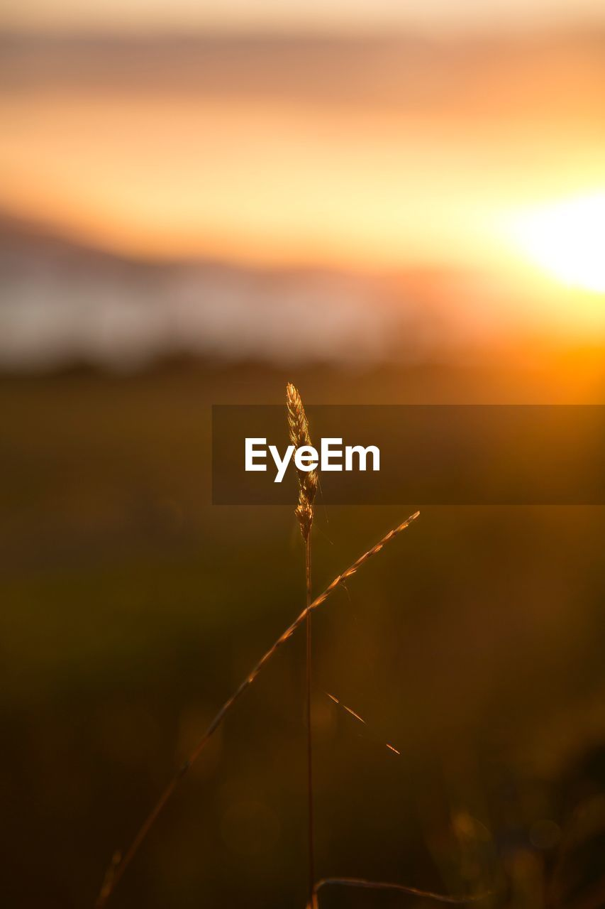 sunset, nature, no people, beauty in nature, growth, outdoors, close-up, plant, focus on foreground, tranquility, scenics, sky, day