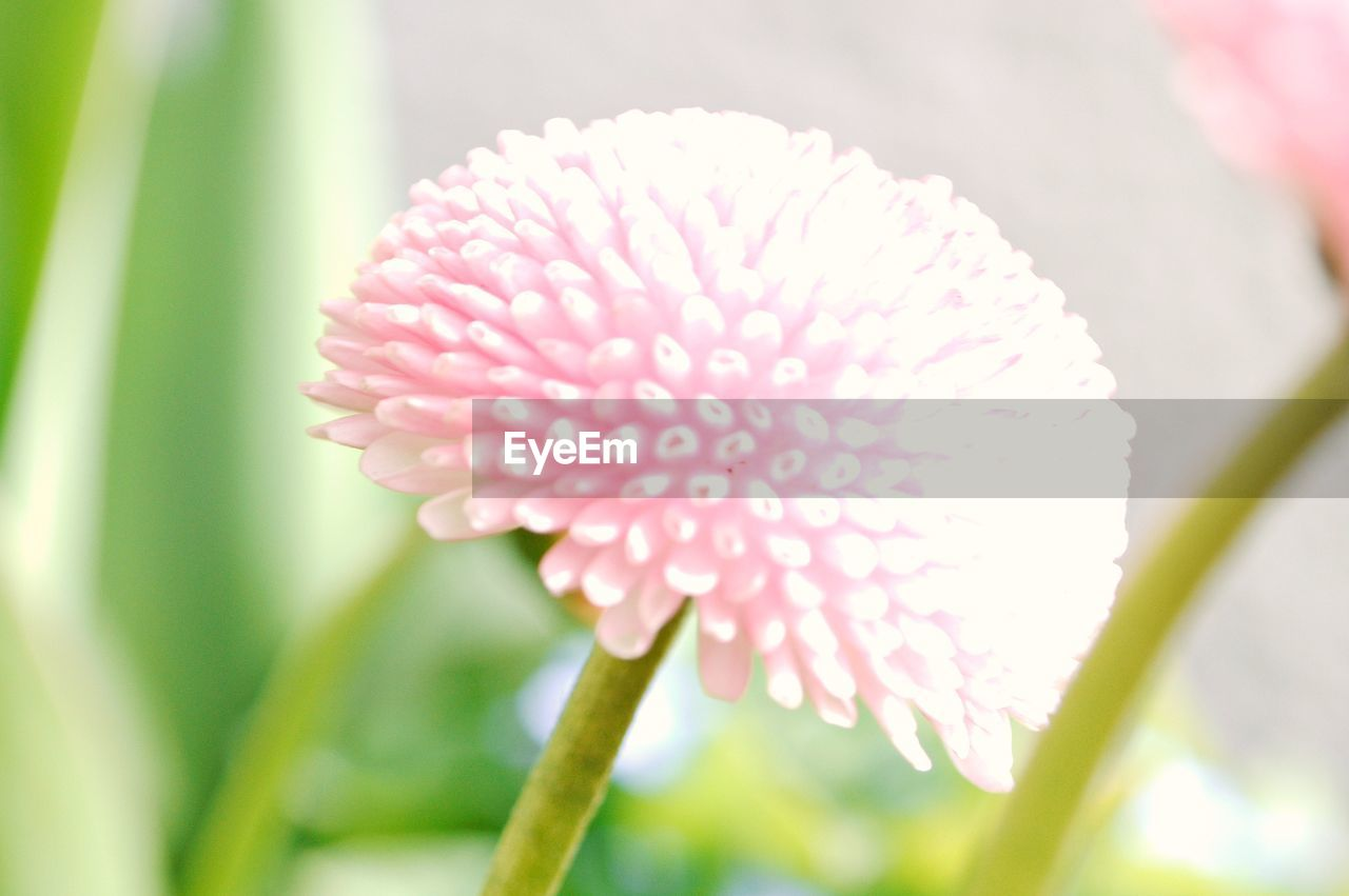 flower, fragility, petal, beauty in nature, nature, growth, flower head, freshness, focus on foreground, pink color, blooming, day, plant, close-up, no people, outdoors