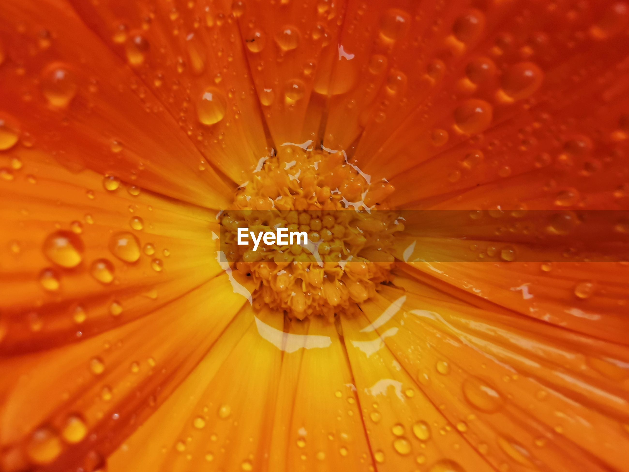 CLOSE-UP OF RAINDROPS ON WET FLOWER
