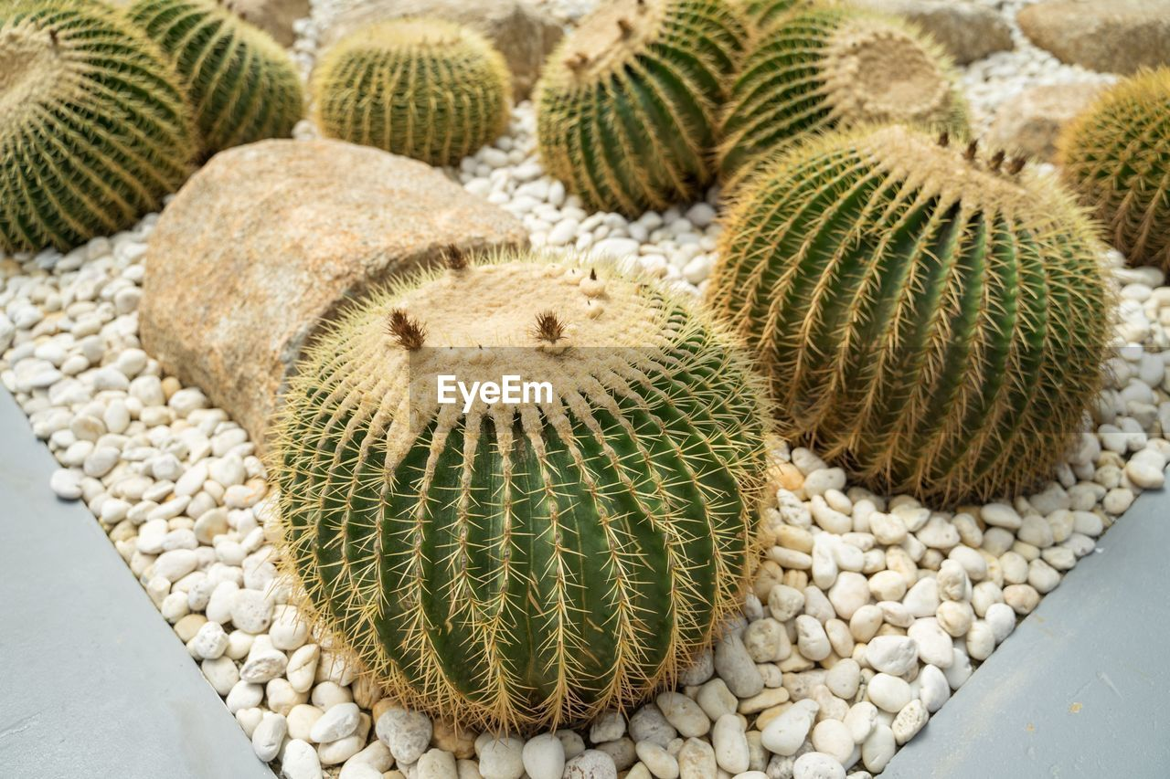 no people, cactus, succulent plant, barrel cactus, close-up, day, high angle view, nature, large group of objects, natural pattern, growth, plant, spiked, thorn, green color, sharp, outdoors, land, still life, food and drink, marine