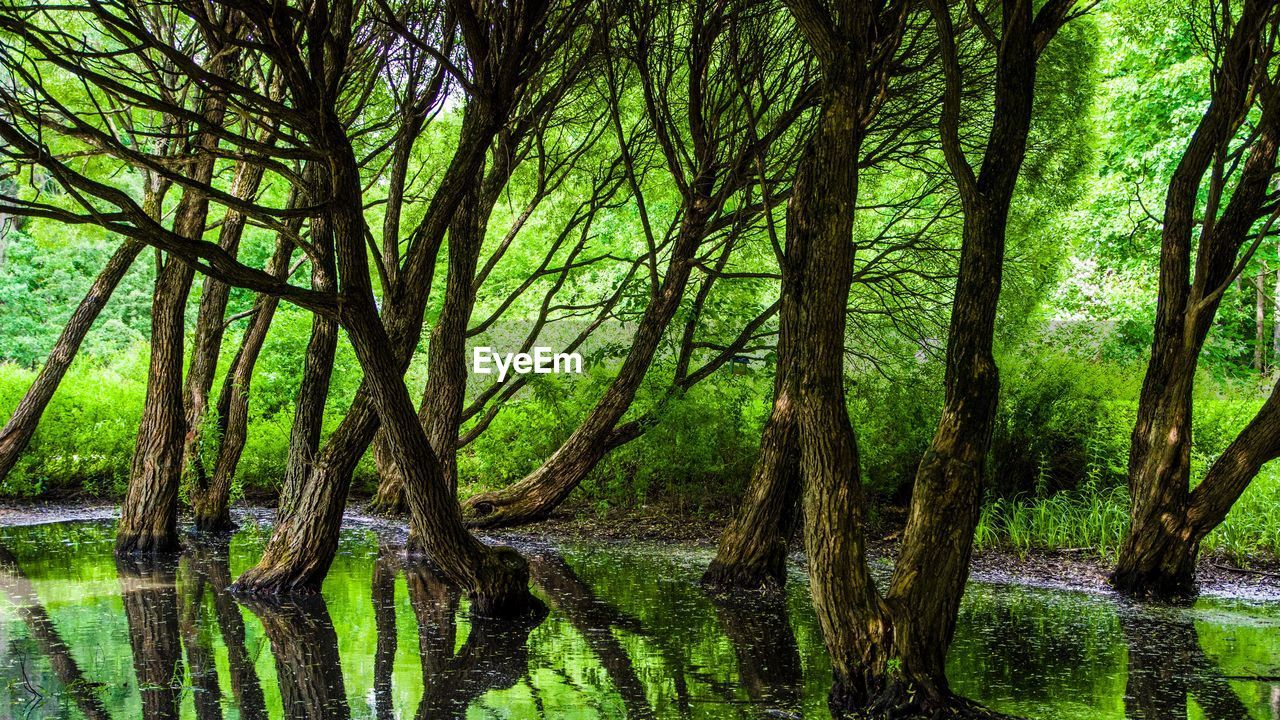 tree, plant, water, forest, tranquility, beauty in nature, reflection, trunk, lake, tree trunk, nature, scenics - nature, land, growth, no people, day, tranquil scene, green color, lush foliage, outdoors, woodland, swamp