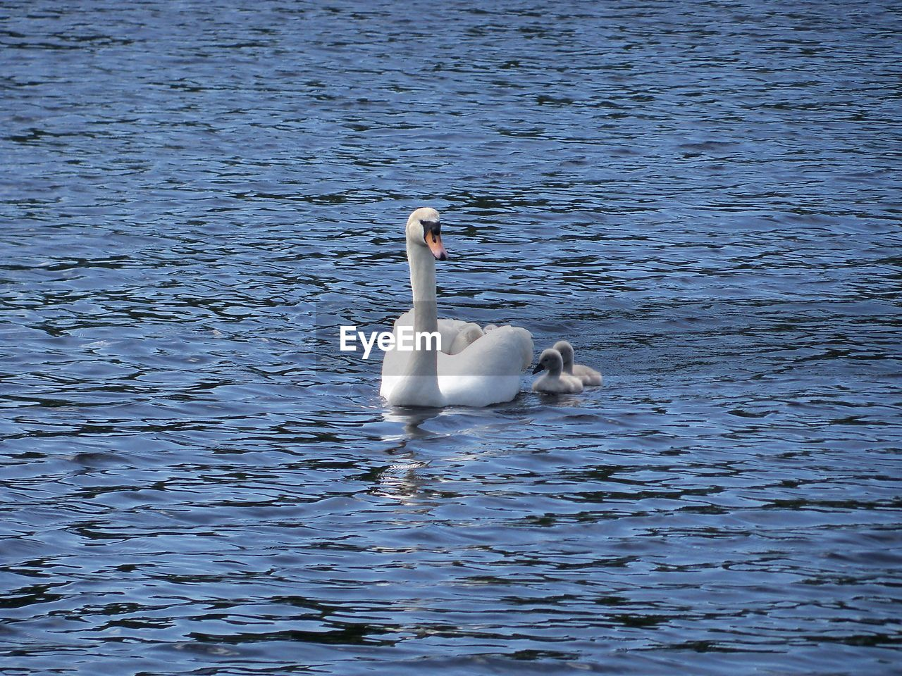 Mute Swan And Cygnets Swimming On Lake
