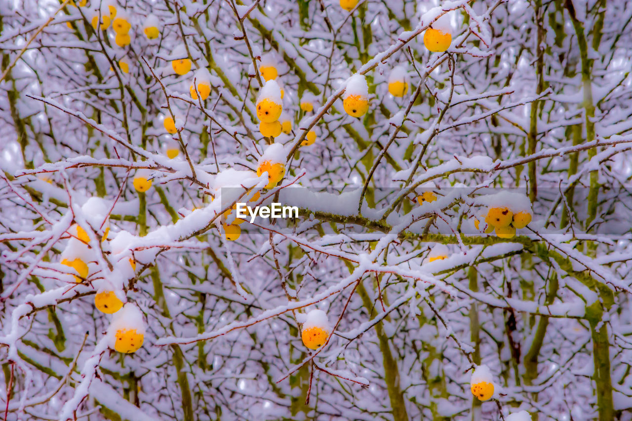tree, nature, winter, branch, cold temperature, beauty in nature, no people, outdoors, snow, fruit, day, food and drink, close-up, food, freshness