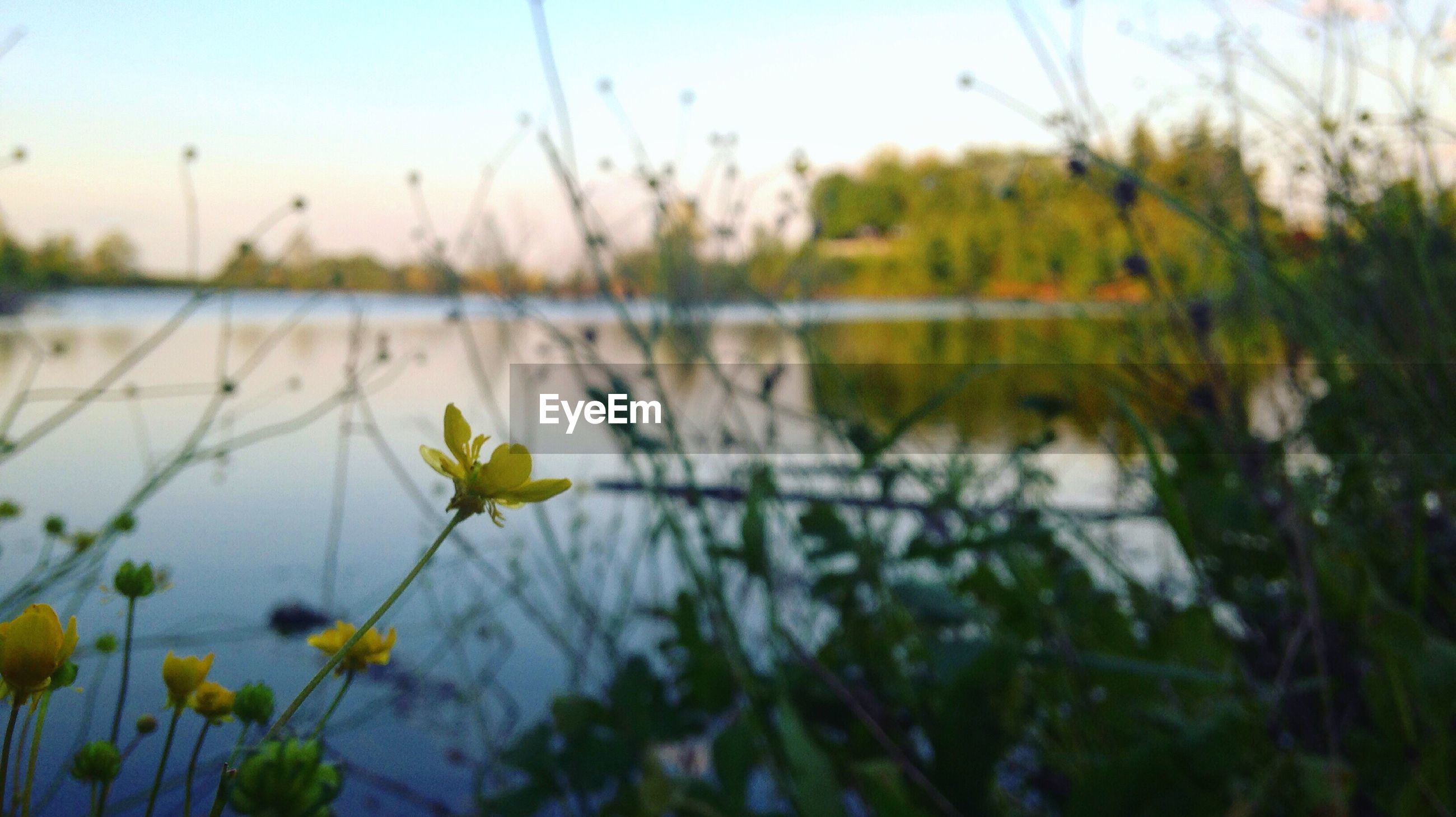 CLOSE-UP OF YELLOW FLOWERS GROWING ON LAKE