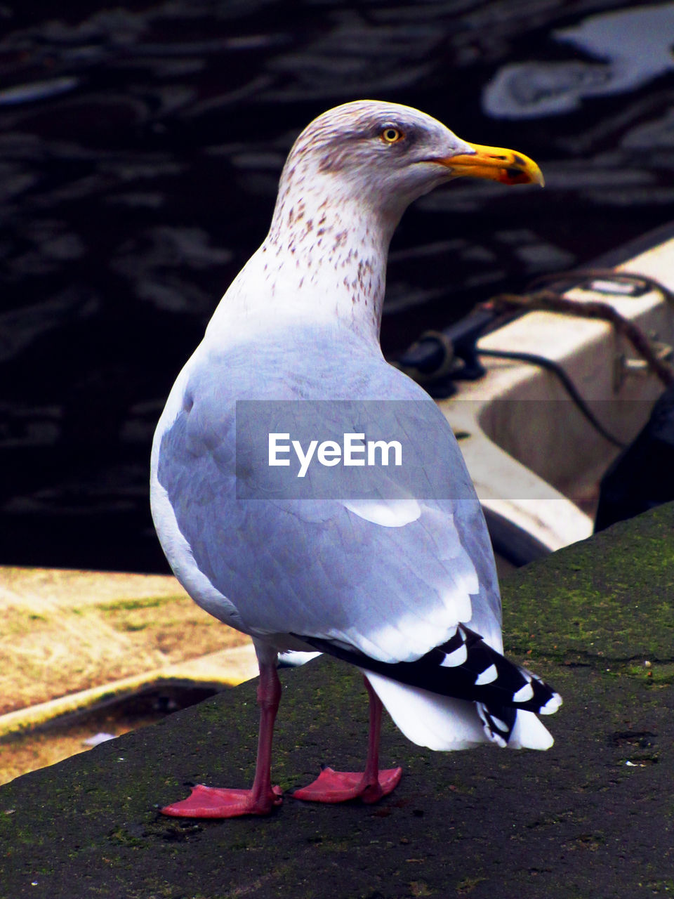 bird, animal themes, animal, vertebrate, animals in the wild, one animal, animal wildlife, day, close-up, no people, nature, perching, focus on foreground, full length, sunlight, outdoors, white color, beak, looking, pigeon